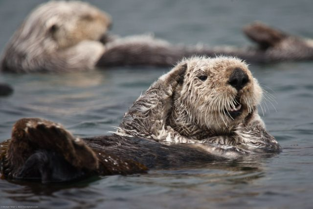 what's-killing-california's-sea-otters?-house-cats.