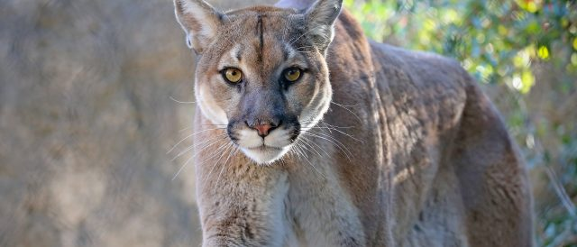 city-on-edge-after-people-think-mountain-lion-is-roaming-the-streets.-turns-out-it's-just-a-large-cat