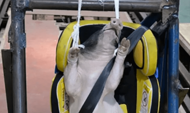 cruel-–-live-pigs-used-as-crash-test-dummies-and-slammed-into-walls-in-china