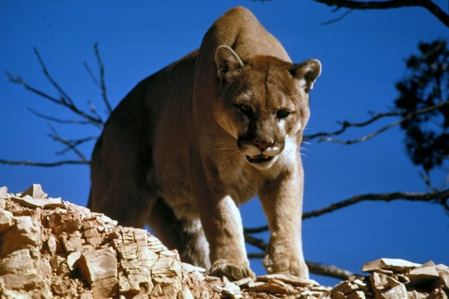 mercury-from-ocean-killing-mtn-lions-in-california(appears-to-be-generated-by-volcanic-action)