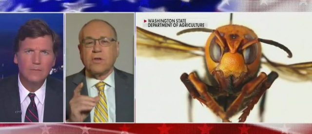 'i-don't-want-to-scare-anyone,-but-…':-dr.-marc-siegel-explains-why-murder-hornets-must-be-stopped