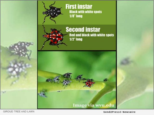 news:-how-to-combat-the-spotted-lanternfly-now-in-the-nymph-stage