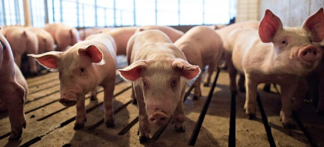 fda-greenlights-genetically-modified-pigs-for-consumption