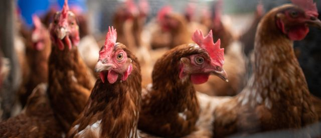 chicken-producer-pleads-guilty-to-price-fixing,-set-to-pay-out-over-$100-million