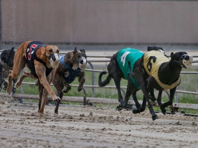 greyhound-tests-positive-for-meth-after-winning-race