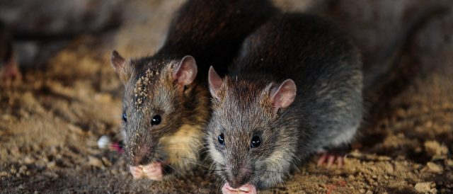 with-return-of-cicadas,-experts-warn-of-rat-infestation