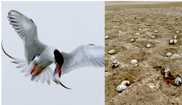 a-generation-of-seabirds-was-wiped-out-by-a-drone-at-an-oc-reserve.-now,-scientists-fear-for-their-future