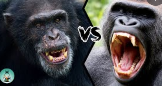 chimpanzees-are-killing-gorillas-unprovoked-for-the-first-time:-scientists